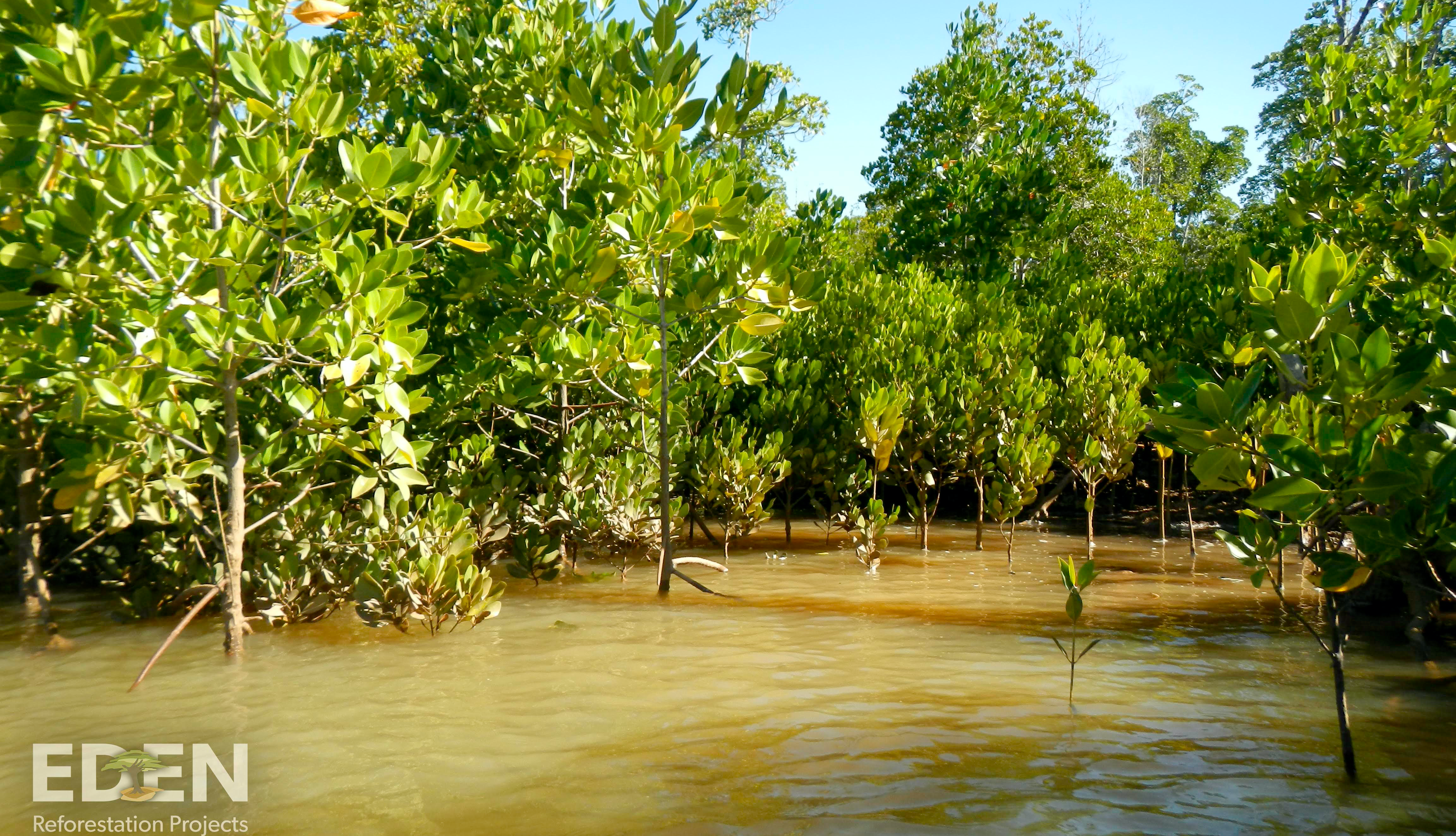 A young mangrove forest